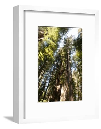 Redwood Trees Growing in a Forest-Nicole Duplaix-Framed Photographic Print