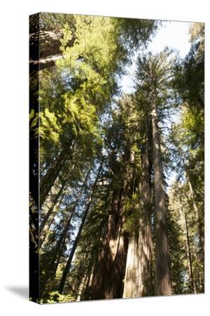 Redwood Trees Growing in a Forest-Nicole Duplaix-Stretched Canvas Print