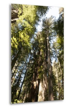 Redwood Trees Growing in a Forest-Nicole Duplaix-Metal Print