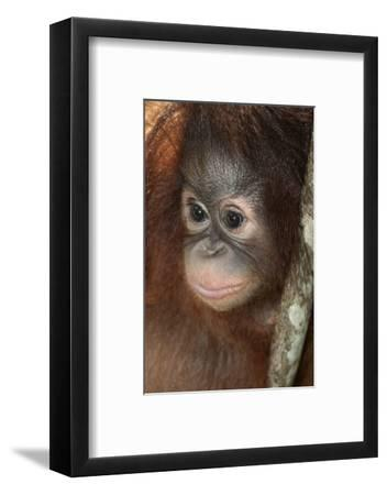 Close Up of a Bornean Orangutan, Pongo Pygmaeus-Nicole Duplaix-Framed Photographic Print