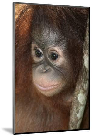 Close Up of a Bornean Orangutan, Pongo Pygmaeus-Nicole Duplaix-Mounted Photographic Print