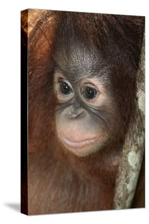 Close Up of a Bornean Orangutan, Pongo Pygmaeus-Nicole Duplaix-Stretched Canvas Print