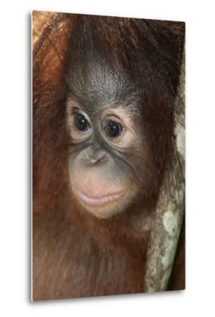 Close Up of a Bornean Orangutan, Pongo Pygmaeus-Nicole Duplaix-Metal Print