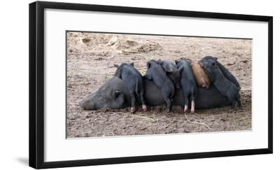 Piglets Sleep on Top of an Adult Pig-Nicole Duplaix-Framed Photographic Print