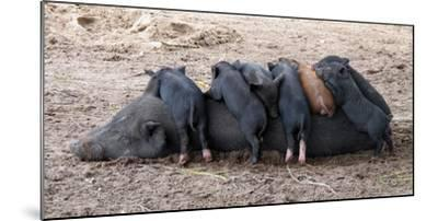 Piglets Sleep on Top of an Adult Pig-Nicole Duplaix-Mounted Photographic Print
