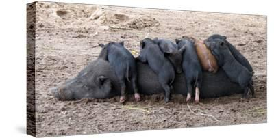 Piglets Sleep on Top of an Adult Pig-Nicole Duplaix-Stretched Canvas Print