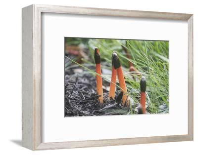 The Mushroom Elegant Stinkhorn, Mutinus Elegans, in a Garden in Northern Virginia-Kent Kobersteen-Framed Photographic Print