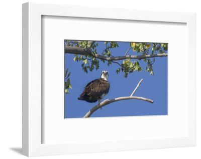 An Osprey Perches on a Tree Branch Along the Occoquan River in Northern Virginia-Kent Kobersteen-Framed Photographic Print