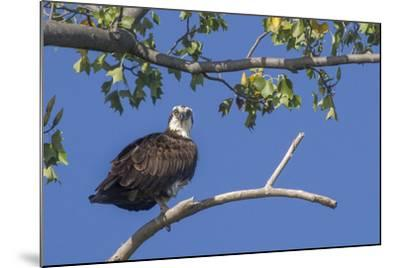 An Osprey Perches on a Tree Branch Along the Occoquan River in Northern Virginia-Kent Kobersteen-Mounted Photographic Print