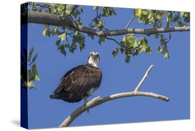 An Osprey Perches on a Tree Branch Along the Occoquan River in Northern Virginia-Kent Kobersteen-Stretched Canvas Print