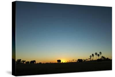 A Herd of an African Elephant, Loxodonta Africana, Graze in the Distance at Sunset-Beverly Joubert-Stretched Canvas Print