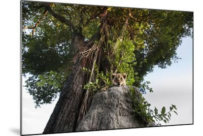A Lion Cub, Panthera Leo, Relaxing on an Ant Hill under a Large Tree-Matthew Hood-Mounted Photographic Print