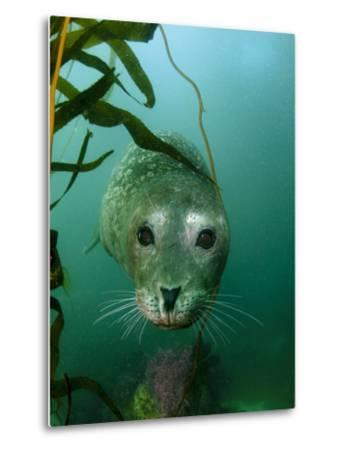 Portrait of a Harbor Seal-Jeff Wildermuth-Metal Print