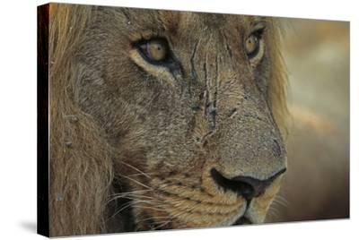 A Close Up of a Scared Male Lion, Panthera Leo-Beverly Joubert-Stretched Canvas Print