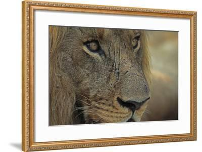 A Close Up of a Scared Male Lion, Panthera Leo-Beverly Joubert-Framed Photographic Print