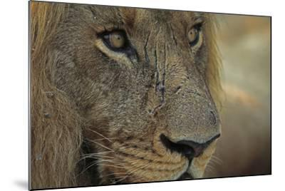 A Close Up of a Scared Male Lion, Panthera Leo-Beverly Joubert-Mounted Photographic Print