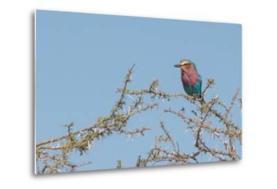 Lilac-Breasted Roller, Coracias Caudatus, Perching in a Thorny Tree-Tom Murphy-Metal Print