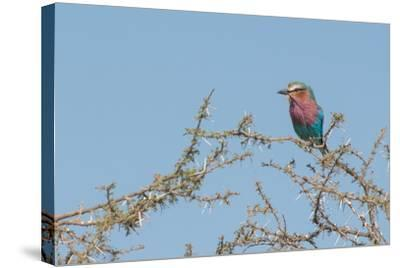 Lilac-Breasted Roller, Coracias Caudatus, Perching in a Thorny Tree-Tom Murphy-Stretched Canvas Print