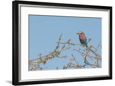 Lilac-Breasted Roller, Coracias Caudatus, Perching in a Thorny Tree-Tom Murphy-Framed Photographic Print