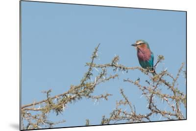Lilac-Breasted Roller, Coracias Caudatus, Perching in a Thorny Tree-Tom Murphy-Mounted Photographic Print