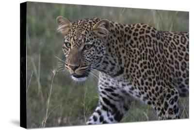 Portrait of a Leopard, Panthera Pardus, with Green Eyes at Dusk-Sergio Pitamitz-Stretched Canvas Print