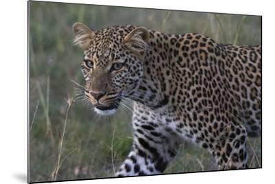 Portrait of a Leopard, Panthera Pardus, with Green Eyes at Dusk-Sergio Pitamitz-Mounted Photographic Print