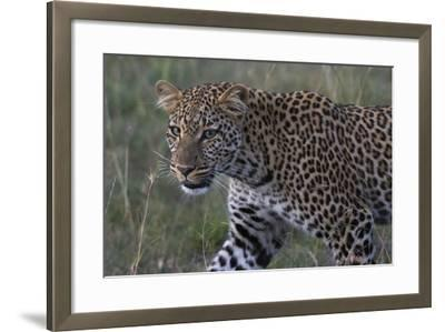 Portrait of a Leopard, Panthera Pardus, with Green Eyes at Dusk-Sergio Pitamitz-Framed Photographic Print