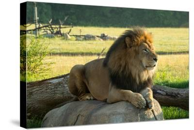 A Male Lion at the Columbus Zoo-Joel Sartore-Stretched Canvas Print