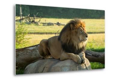 A Male Lion at the Columbus Zoo-Joel Sartore-Metal Print