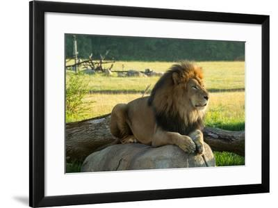 A Male Lion at the Columbus Zoo-Joel Sartore-Framed Photographic Print