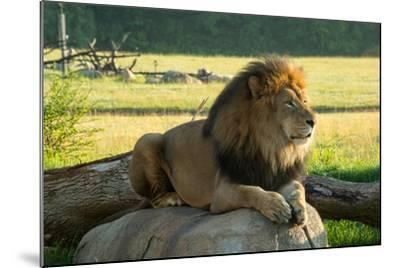 A Male Lion at the Columbus Zoo-Joel Sartore-Mounted Photographic Print