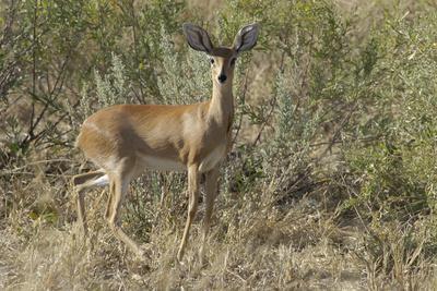 Impala, Upper Vumbura Plains, Botswana-Anne Keiser-Framed Photographic Print