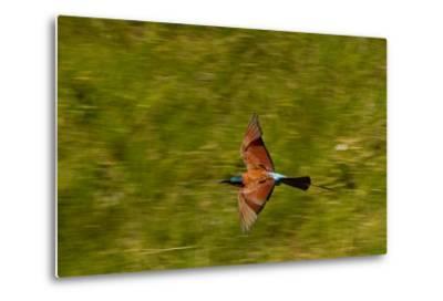 A Southern Carmine Bee-Eater, Merops Nubicoides, in Flight-Beverly Joubert-Metal Print