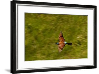 A Southern Carmine Bee-Eater, Merops Nubicoides, in Flight-Beverly Joubert-Framed Photographic Print