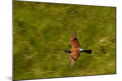 A Southern Carmine Bee-Eater, Merops Nubicoides, in Flight-Beverly Joubert-Mounted Photographic Print