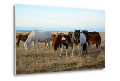 Icelandic Horses Grazing in Pasture-Raul Touzon-Metal Print