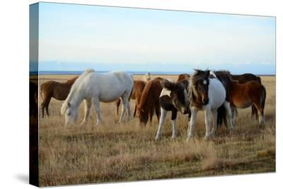 Icelandic Horses Grazing in Pasture-Raul Touzon-Stretched Canvas Print