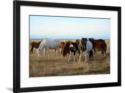 Icelandic Horses Grazing in Pasture-Raul Touzon-Framed Photographic Print