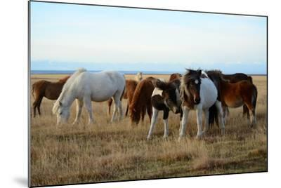 Icelandic Horses Grazing in Pasture-Raul Touzon-Mounted Photographic Print