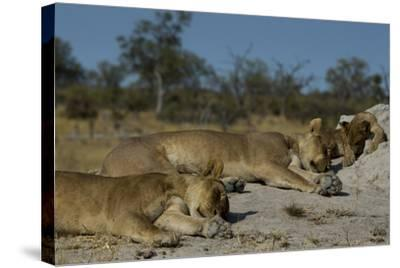 Two Lioness, Panthera Leo, Sleeping with Cub on a Termite Mound-Beverly Joubert-Stretched Canvas Print