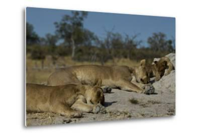 Two Lioness, Panthera Leo, Sleeping with Cub on a Termite Mound-Beverly Joubert-Metal Print