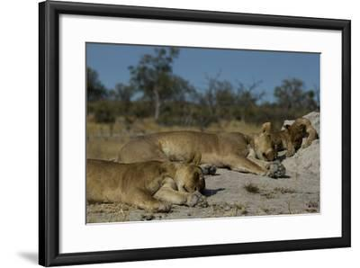 Two Lioness, Panthera Leo, Sleeping with Cub on a Termite Mound-Beverly Joubert-Framed Photographic Print