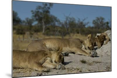 Two Lioness, Panthera Leo, Sleeping with Cub on a Termite Mound-Beverly Joubert-Mounted Photographic Print