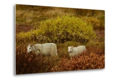 Icelandic Sheep Grazing and Resting Among Fall Foliage in Thingvellir National Park-Raul Touzon-Metal Print