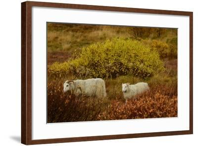 Icelandic Sheep Grazing and Resting Among Fall Foliage in Thingvellir National Park-Raul Touzon-Framed Photographic Print