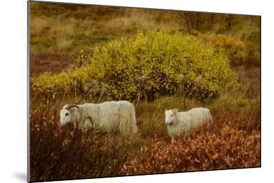 Icelandic Sheep Grazing and Resting Among Fall Foliage in Thingvellir National Park-Raul Touzon-Mounted Photographic Print