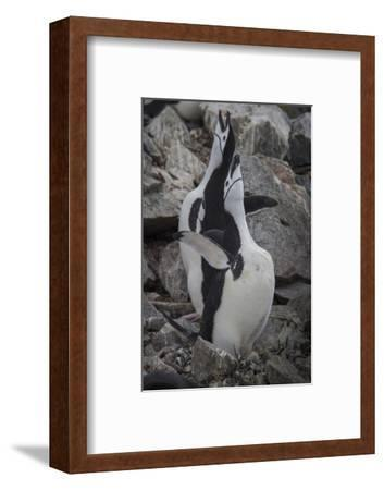 A Pair of Chinstrap Penguins, Pygoscelis Antarcticus, on Half Moon Island-David Griffin-Framed Photographic Print