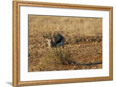 Springbok, Sossusvlei Dunes, Namibia-Anne Keiser-Framed Photographic Print