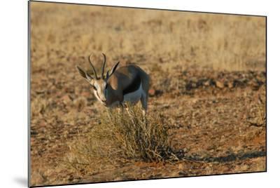 Springbok, Sossusvlei Dunes, Namibia-Anne Keiser-Mounted Photographic Print