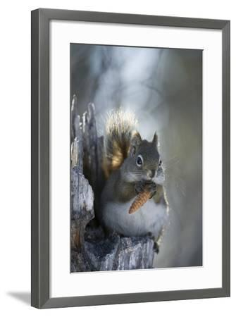 A Red Squirrel Holds a Pinecone-Michael Quinton-Framed Photographic Print